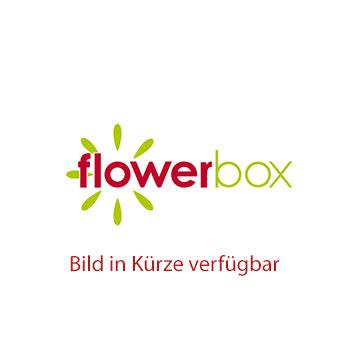 Schmetterlingsorchidee 1-Trieber mini, weiß-lila gemustert, 6+ Blüten - Phalaenopsis - Höhe ca. 25 cm, Topf-Ø 6 cm