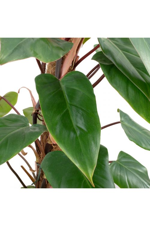 Roter Baumfreund - Philodendron Red Emerald - Höhe ca. 80 cm, Topf-Ø 19 cm