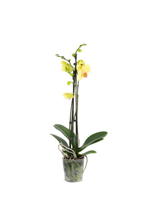 Schmetterlingsorchidee 3-Trieber Mix, 18+ Blüten - Phalaenopsis - Höhe ca. 60 cm, Topf-Ø 12 cm