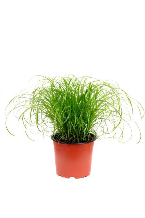 "Echtes Katzengras - Cyperus alternifolius ""Zumula"" - Höhe ca. 30 cm, Topf-Ø 12 cm"