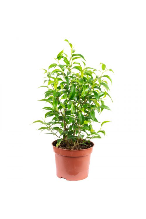 "Birkenfeige ""Natasja"" verzweigt - Ficus benjamini - Höhe ca. 30 cm, Topf-Ø 12 cm"