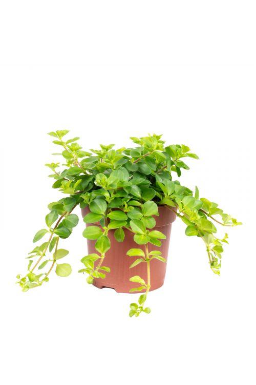 """Zwergpfeffer """"Smit Rondo Venetiano"""" - Peperomia rotundifolia - Höhe ca. 15 cm, Topf-Ø 10,5 cm"""