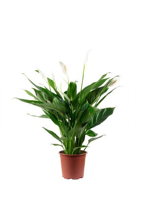 Einblatt 4-8 Blüten/Knospen - Spathiphyllum - Höhe ca. 70 cm, Topf-Ø 17 cm