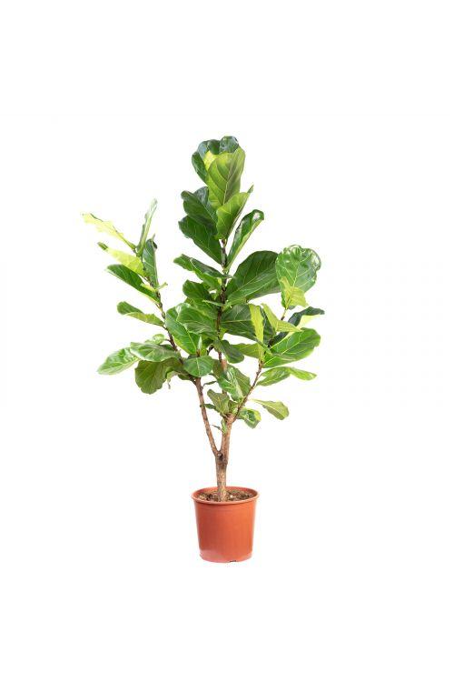 Geigenfeige verzweigt - Ficus Lyrata - Höhe ca. 140 cm, Topf-Ø 30 cm