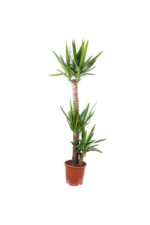 Palmlilie 3-stämmig - Yucca Elephantipes Palme 120/60/30 - Höhe ca. 155 cm, Topf-Ø 27 cm
