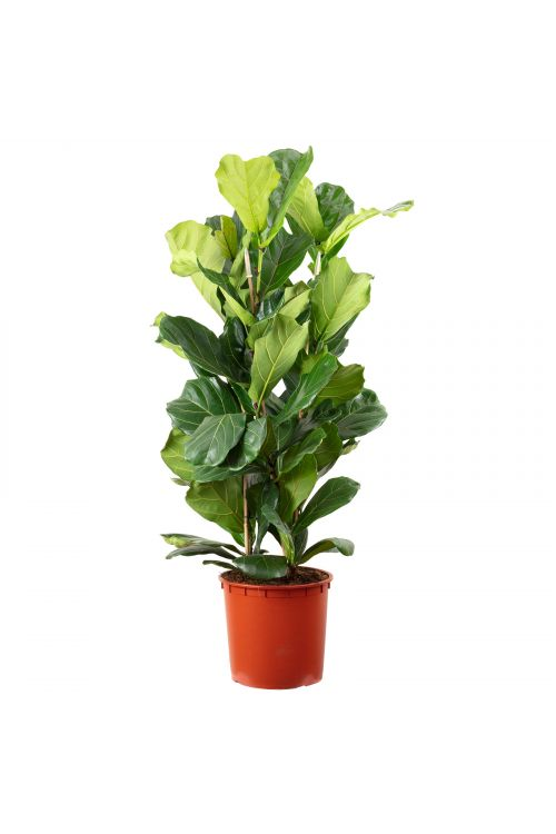 Geigenfeige 3-stämmig - Ficus Lyrata - Höhe ca. 150 cm, Topf-Ø 34 cm